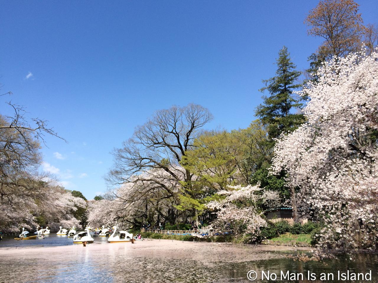 20140412cherry-blossom-1