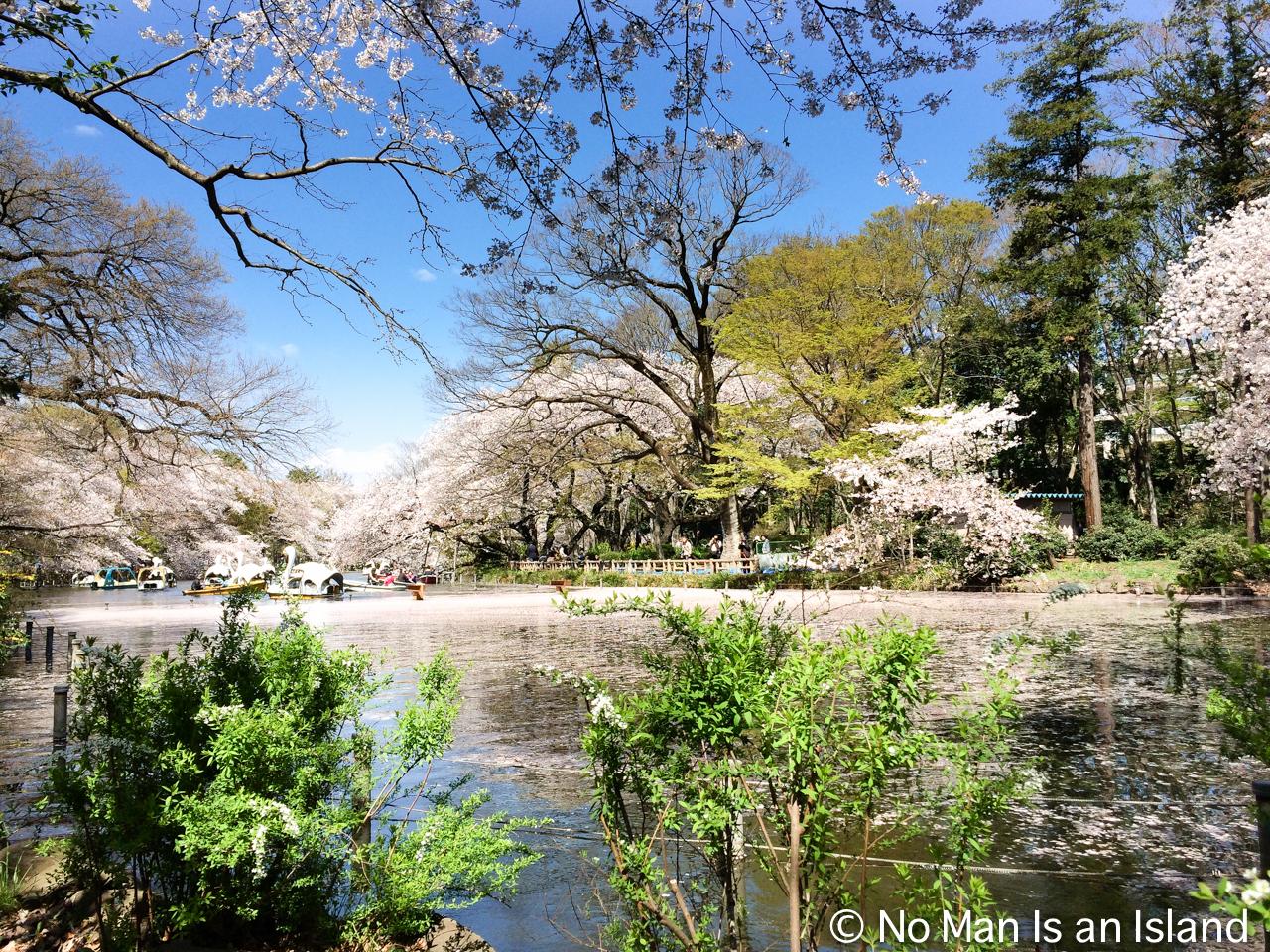 20140412cherry-blossom-2